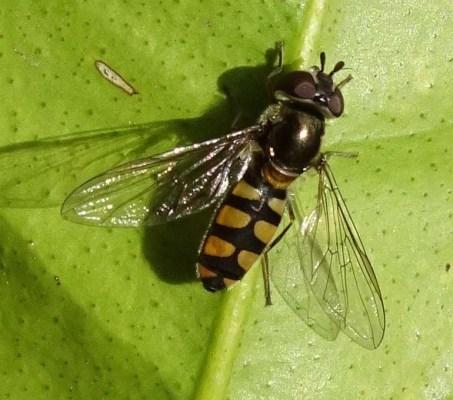 Hover flies on the Kaffir Lime - 18 October 2016 - 3