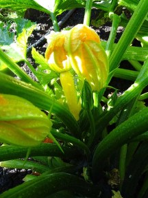 Courgette / Zucchini - Gold Rush