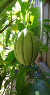 Rock Melon - From the compost