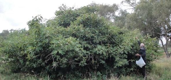 Fig tree - 2