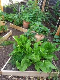 Horseradish in the garden